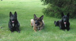 Three police dogs laying down in the grass